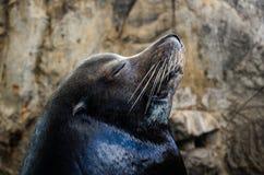 Peaceful sea lion Stock Photos