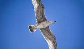 Peaceful seagull Royalty Free Stock Photo