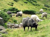Peaceful sheep Stock Photos