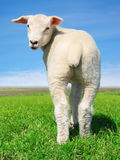 The peaceful sheep Royalty Free Stock Image