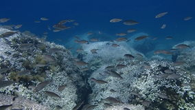 Peaceful shoal of fish. HD underwater footage of a shoal of fish stock video
