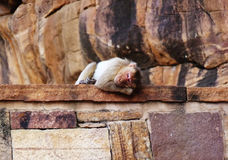 Peaceful sleeping monkey Royalty Free Stock Photos