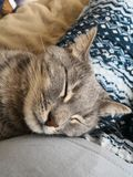 Peaceful sleepy gray cat royalty free stock photography