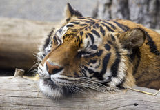 Peaceful Slumber. A closeup shot of a tiger sleeping peacefully at the zoo Royalty Free Stock Photos