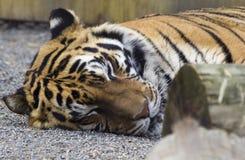 Peaceful Slumber. A closeup shot of a tiger sleeping peacefully at the zoo Royalty Free Stock Photo