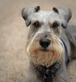 Peaceful small gray dog indoors Stock Photos