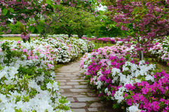 Peaceful stone walking path in a garden of spring azalea flowers and plum blossoms. Lovely park path winding through an azalea flower garden with blossoming plum stock photo