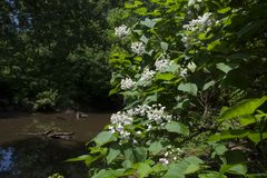 Peaceful stream in the forest with tree in bloom royalty free stock image