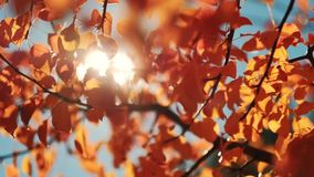 Peaceful sunny autumn day golden tree leaves. Peaceful sunny autumn day. Golden tree leaves sway in wind stock video