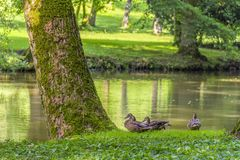 Wild ducks in idyllic park scenery. Peaceful sunny park scenery including some mallards near a idyllic small lake at summer time Royalty Free Stock Image