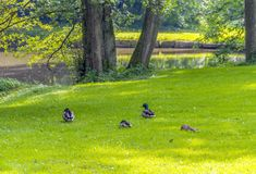 Wild ducks in idyllic park scenery. Peaceful sunny park scenery including some mallards near a idyllic small lake at summer time Royalty Free Stock Images