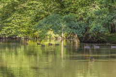 Wild ducks in idyllic park scenery. Peaceful sunny park scenery including some mallards swimming in a idyllic small lake at summer time Stock Image
