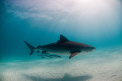 A peaceful tiger shark. A tiger shark with vivid markings swimming in a clear, blue ocean with white sand Stock Photography