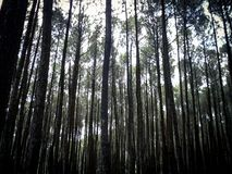 Pine forest, Yogyakarta, Indonesia. Peaceful and tranquil scenery of pine forest in Yogyakarta area in Indonesia royalty free stock image
