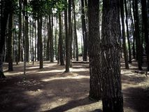 Pine forest, Yogyakarta, Indonesia. Peaceful and tranquil scenery of pine forest in Yogyakarta area in Indonesia royalty free stock photo