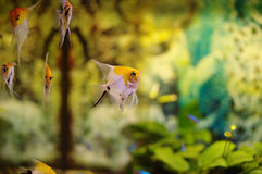 Peaceful tropical fishes Stock Images
