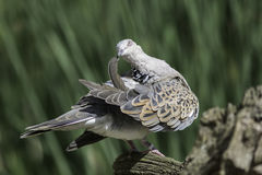 Peaceful Turtle Dove bird preening its wing feathers Stock Photography