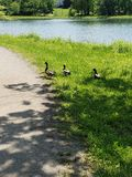 Feels Like the First Day of Summer. Peaceful view of playful geese while walking on the first day of summer royalty free stock images