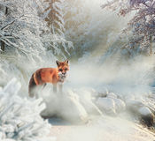 Peaceful winter scene with red fox in the snow Stock Photo