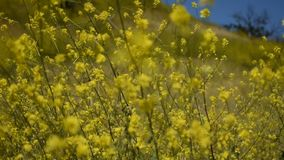 Peaceful yellow mustard flowers with butterflies painted lady in a gentle cool breeze stock footage