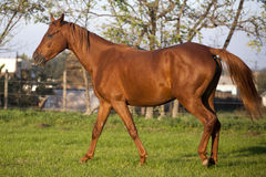Peaceful young pregnant mare galloping in summer corral stock photography