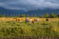 Peacefull cows. Cows eating peacefully, ignoring the dark cloud of rain that was coming Stock Image