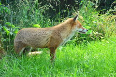 A peacefull fox. A cunning and peacefull wild fox surrounded by grassland Royalty Free Stock Image