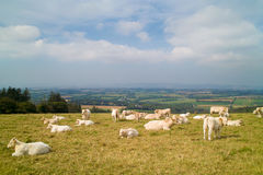 Peacefull landscape with cows Stock Photos