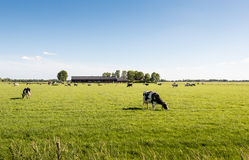 Peacefully grazing cows in a large meadow. Cows quietly enjoying the fresh spring grass of the meadow. In the background is their modern Dutch cowshed Stock Images