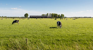 Peacefully grazing cows in the pasture Stock Photo
