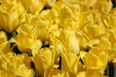 Yellow tulip flower in spring stock photography