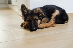 Peacefully sleeping German shepherd puppy royalty free stock image