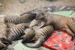 Peacefully sleeping mongooses Royalty Free Stock Photos