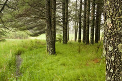 Peacful forest. Green mossy forest with morning fog Royalty Free Stock Photos
