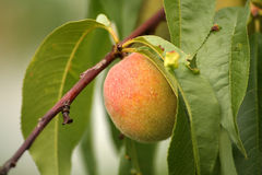 Peach. Small unripe peach Royalty Free Stock Photography
