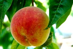 Peach. Ripe fruit of a peach on a branch stock image