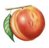 Peach. Detailed illustration of a Peach vector illustration