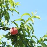 peach Obrazy Stock