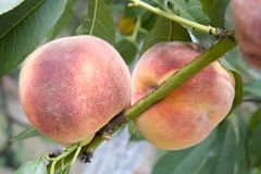 Peach. Two peach on the branch stock image