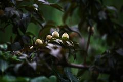 Peach. Any of several deciduous trees or shrubs of the genus Rosaceae, Li Yake. Axillary buds are confluent, with flower buds on both sides, and leaf buds in the Royalty Free Stock Photography