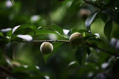 Peach. Any of several deciduous trees or shrubs of the genus Rosaceae, Li Yake. Axillary buds are confluent, with flower buds on both sides, and leaf buds in the Stock Photo
