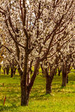 Peach and Apple Orchards in Spring Bloom Royalty Free Stock Image
