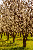 Peach and Apple Orchards in Spring Bloom Royalty Free Stock Photo