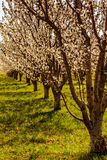 Peach and Apple Orchards in Spring Bloom Royalty Free Stock Photos