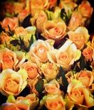Peach Avalanche Roses Stock Photos