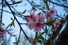 Peach bloom against the sky in spring Royalty Free Stock Photo