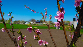 Peach bloom. Beautiful spring peach bloom in the garden Stock Photos