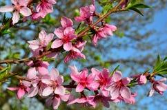 Peach bloom. Royalty Free Stock Photos