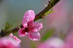 Peach bloom Stock Photos