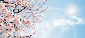 Peach bloom Stock Image